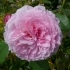 Rosa James Galway Englische Rose